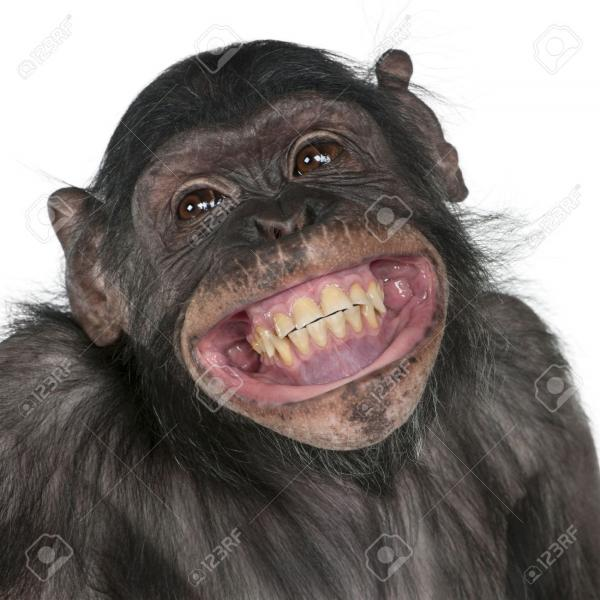 8650613-close-up-of-mixed-breed-monkey-between-chimpanzee-and-bonobo-smiling-8-years-old.jpg